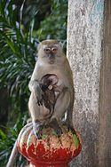Batu caves monkey 2.jpg