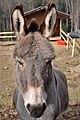 Batzberg (Dachsegg) - Equus asinus 2011-02-17 14-40-30.JPG