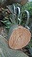 Bauhinia blakeana Wood.jpg