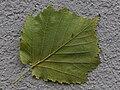 Baum Hasel, Corylus colurna 5.JPG