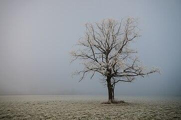 Baum in Kärnten 037.jpg