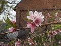 Beautiful peach flowers.JPG