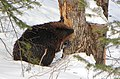 Beaver in Winter, Gatineau Park.jpg