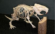 A mounted beaver skeleton