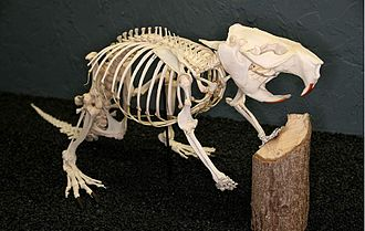 North American beaver - North American beaver skeleton (Museum of Osteology)
