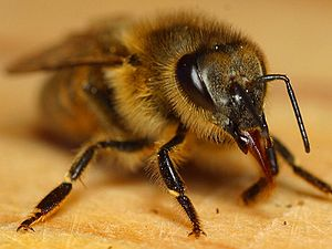 Honey bee with tongue partially extended