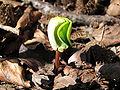 Beech seedling 1.JPG