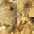 Beewolf (Philanthus triangulum) (9476112429).jpg