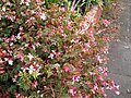 Begonia coccinea Hook. (AM AK299370-3).jpg