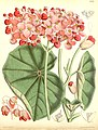 Begonia cyathophora.jpg