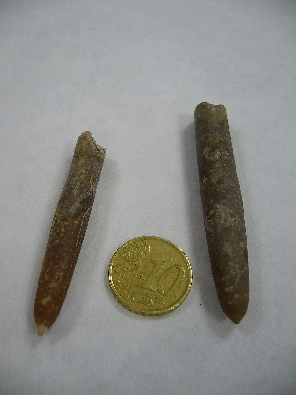 Belemnitella mucronata.3 - Cretacico superior