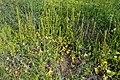 Beta vulgaris subsp. maritima kz2.jpg