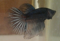 Bettas .png