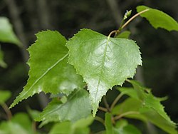 Betula populifolia leaves.jpg