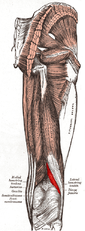 Biceps femoris muscle short head.PNG