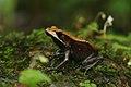 Bicolor frog Coorg 01.jpg
