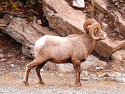 Bighorn Sheep in Kananaskis Country, Alberta, Canada.