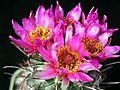 Big cacti flowers.jpg