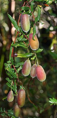 Billardiera scandens Lawson fruit email