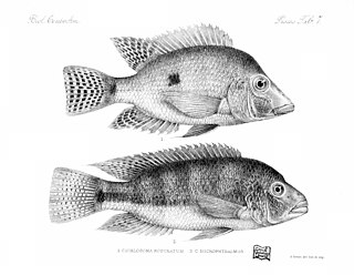 <i>Theraps</i> Genus of fishes