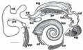 Biomphalaria tenagophila reproductive system.png