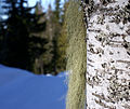 Birch with lichen (3403739207).jpg