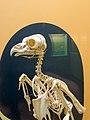 Bird skeleton - National Museum of Natural History (Washington) (43429108160).jpg