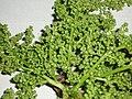 Bischofia javanica Blume (AM AK316949-6).jpg