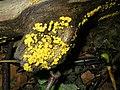 Bisporella citrina - Reisigbecherchen Zitronengelbes (2).jpg