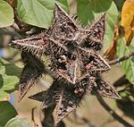 Bixa orellana dried fruit in Hyderabad, AP W IMG 1452.jpg