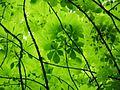 Blätterdach im Plänterwald.jpg