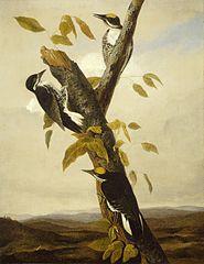 Black-Backed Three-Toed Woodpecker