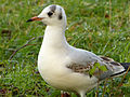 Black-Headed Gull (6702830505).jpg