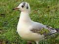 Black-Headed Gull (6702830505).jpg