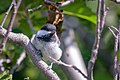 Black-capped Chickadee (43335174002).jpg