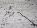 Black-capped Kingfisher (15977823413).jpg