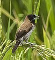 Black-faced Munia - Sulawesi MG 5777 (22799479470) (cropped).jpg