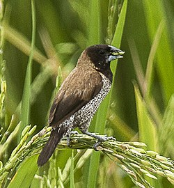 Black-faced Munia - Sulawesi MG 5777 (22799479470) (cropped).jpg