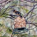 Black-headed grosbeak (33884345012).jpg