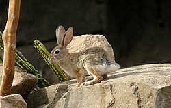 Black-tailed Jackrabbit at the Henry Doorly Zoo.jpg