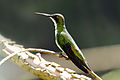 Black-throated mango (Anthracothorax nigricollis) female.jpg