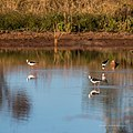 Black-winged stilt pond near Burke River Boulia Queensland P1030818.jpg