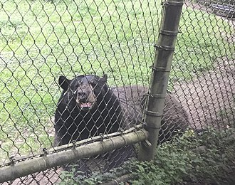 Charles Towne Landing - Black bear at the Charles Towne Landing's animal forest, March 2019