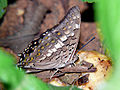 Black Rajah (Charaxes solon) Pacharam village Hyderabad, AP.jpg