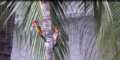 Black Rumped Flameback Woodpeckers.PNG