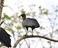 Black Vulture (6927697848).jpg