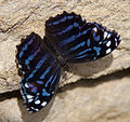 Black and Blue striped Butterfly 2 (5662454549).jpg