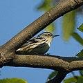 Black and White Warbler (female) (4617981134).jpg