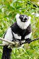 Black and white Ruffed Lemur (24686474829).jpg