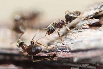 Black ants fighting.jpg